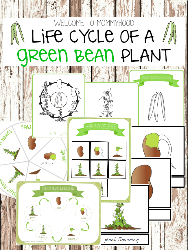 Green bean life cycle printables for studying botany