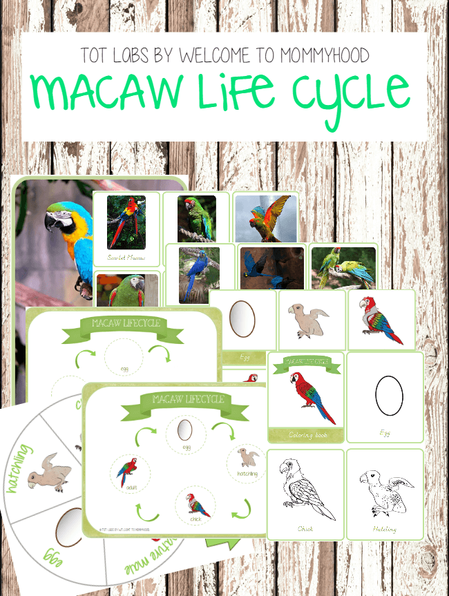 montessori life cycle of a bird printables macaw life cycle printables. Black Bedroom Furniture Sets. Home Design Ideas