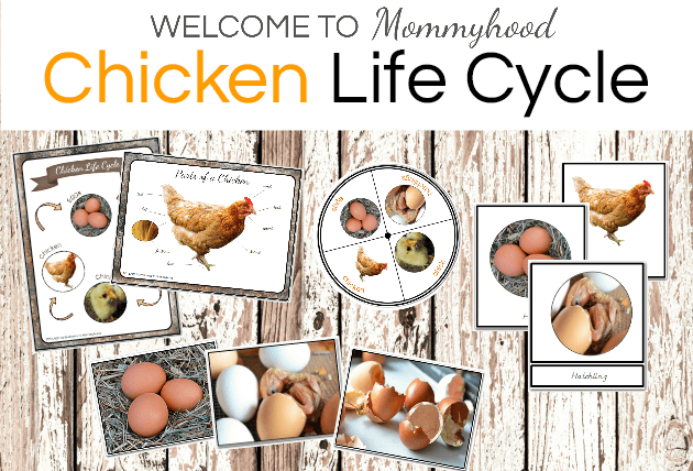 Montessori Chicken Life Cycle Printables for hands on ...